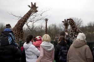 Žirafa (8)
