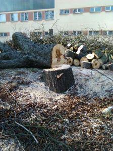 Kácení stromů Foto Luboš Hostek (8)