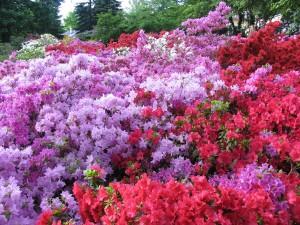 Výstava rododendronů (1)