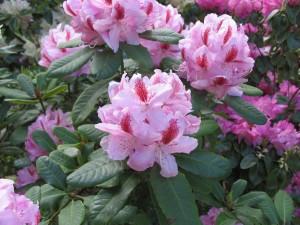 Výstava rododendronů (16)