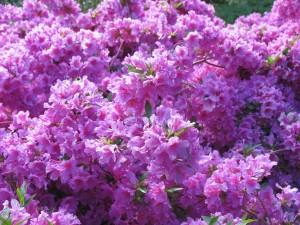 Výstava rododendronů (7)