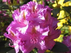 Výstava rododendronů (9)
