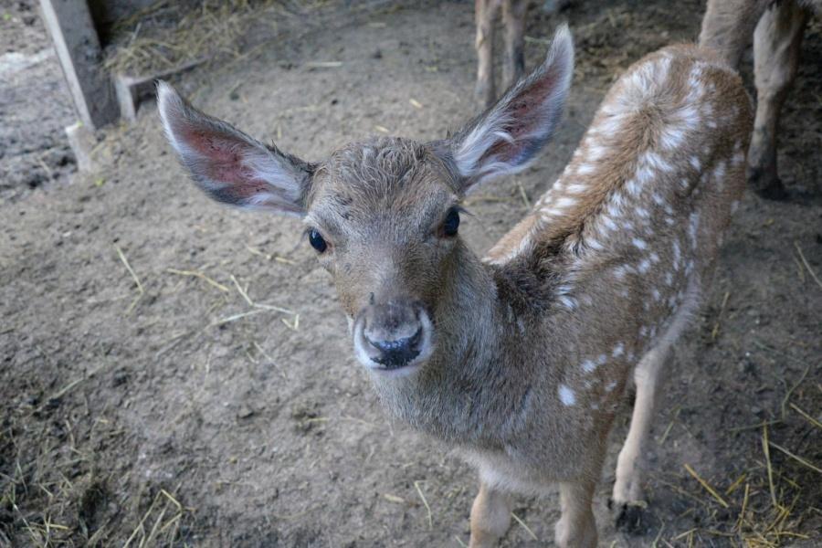 jelen bělohubý
